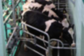 inek yetiştirme ve süt mandıra
