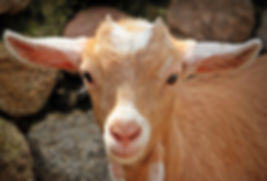 keçi çiftliği, süt
