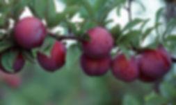 erik bahçesi, japon eriği, anjelika erik ağacı