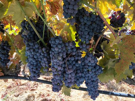 Ripe-Grapes.jpg