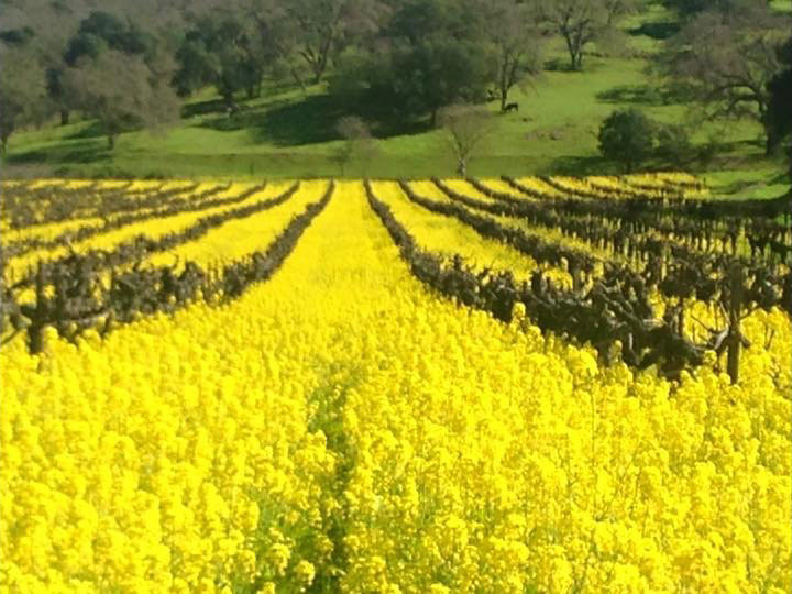 Vineyard-Mustard.jpg
