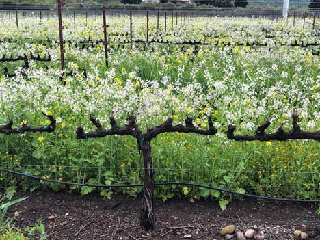 Vineyard-Cordons-White-Flowering.jpg