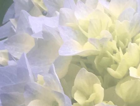 A Handful of Hydrangeas