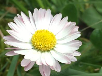 English Daisies, Spring's Wildflower