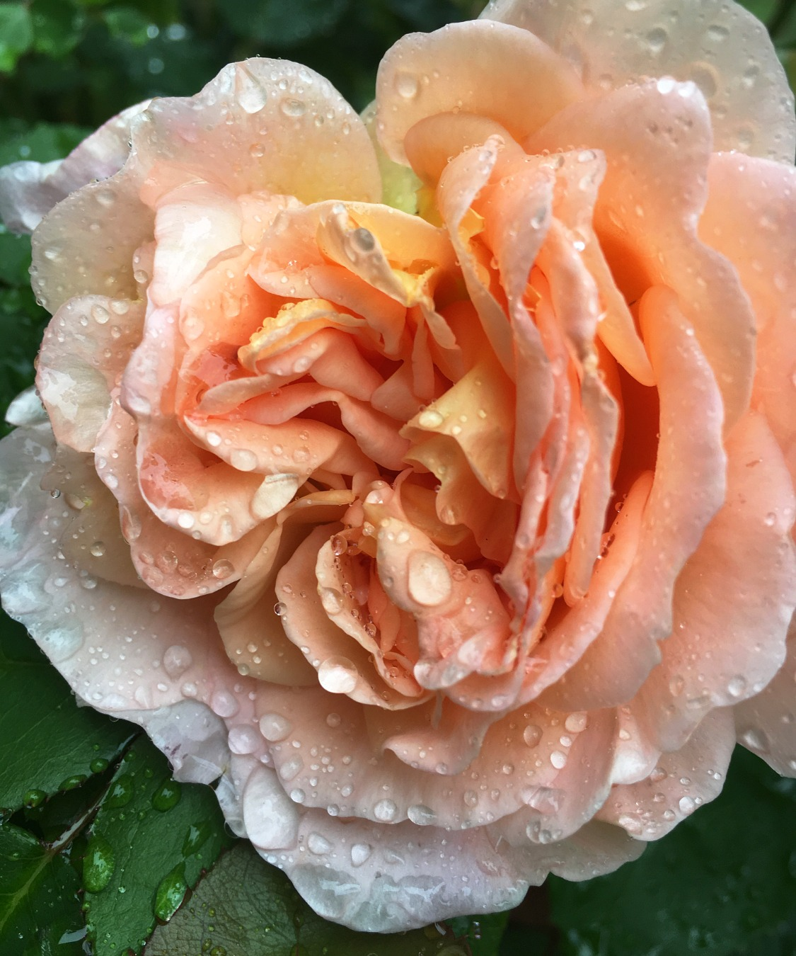 David Austin rose, Karen L Higgins