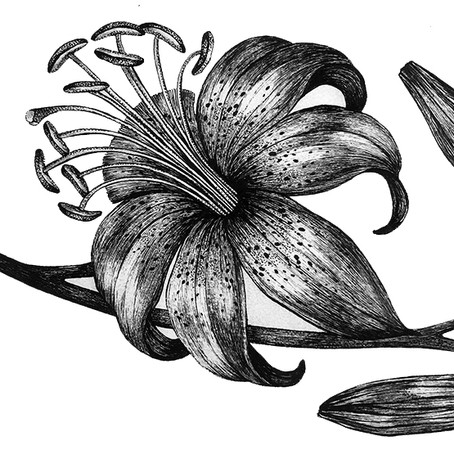 DRAWING TUTORIAL: How to Draw a Lily Flower