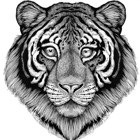 DRAWING TUTORIAL: How to Draw a Tiger