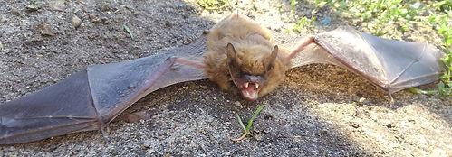 Brown Bat in Michigan