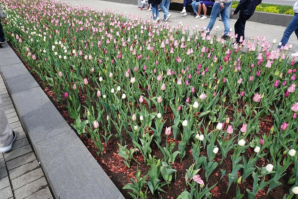 tulips  פריחת צבעונים מוסקבה