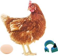 蛋雞.jpg
