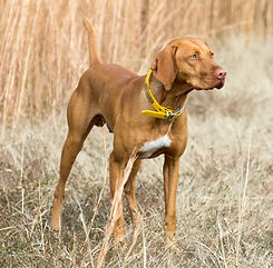 Hess Farms Briar Vizsla