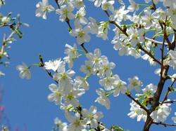 りょくがく桜
