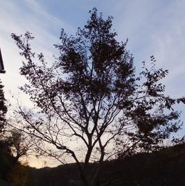 中庭のヒメシャラの木