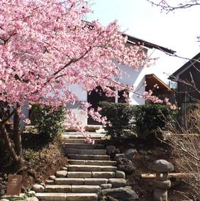 工房と河津桜