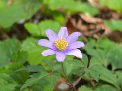 菊咲いちげ
