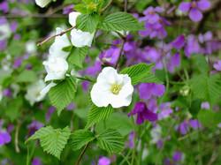 白花やまぶき