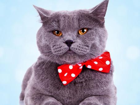 Raças de gatos - British Shorthair