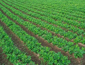 Beans growing sustainable crop production
