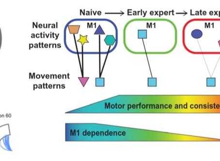 """El aprendizaje a largo plazo se """"desconecta"""" del área motora primaria."""