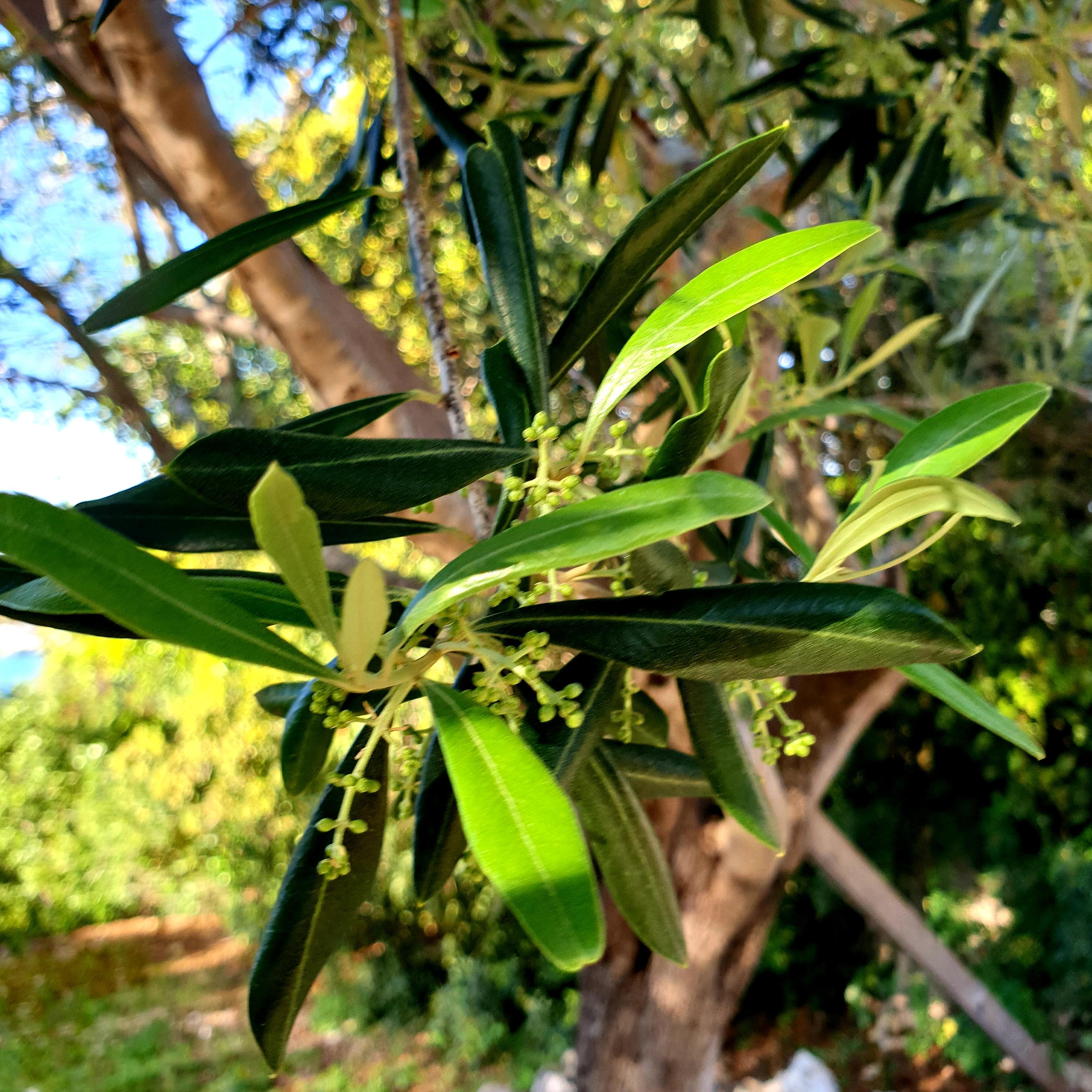 olive tree Nereidi Villas Paxos