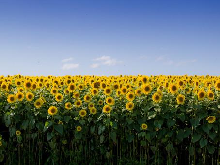 Fertilizarea rațională la floarea soarelui