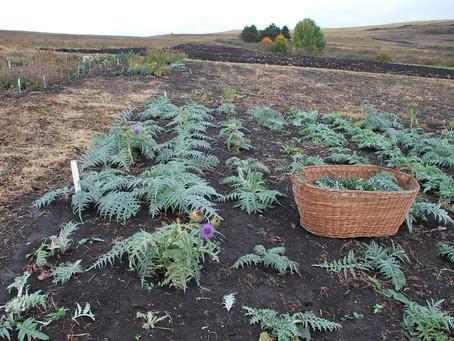 Anghinarea (Cynara scolymus L.) o plantă cu multe utilizări
