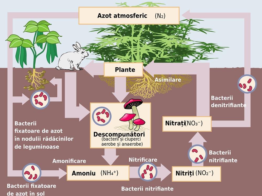 Ciclul azotului în natură