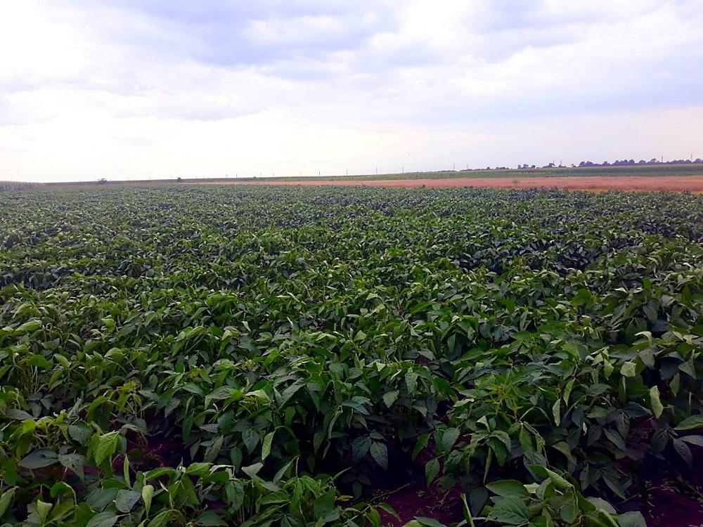 Câmp de soia
