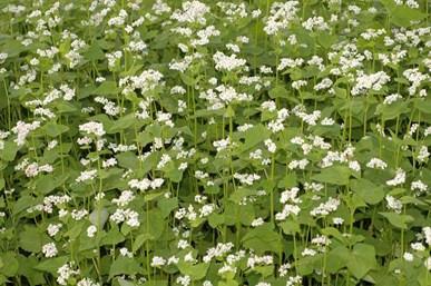 HRIŞCA (Fagopyrum esculentum Moench.)