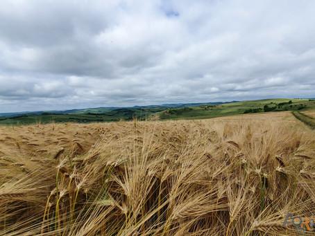 Fertilizarea fazială la culturile de toamnă (grâu, rapiță)