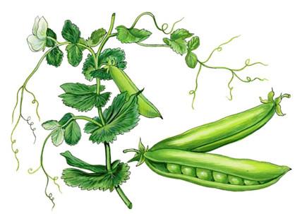 Mazărea (Pisum sativum L.)