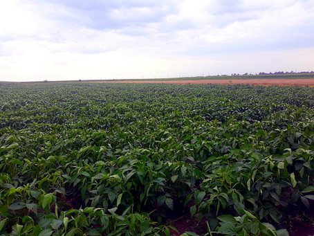 Soia – cultură valoroasă în gestionarea azotului în agricultură