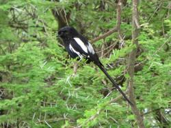 Corvinelle noire et blanche