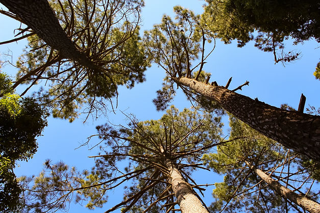 looking up at 4 pine trees against clear blue sky