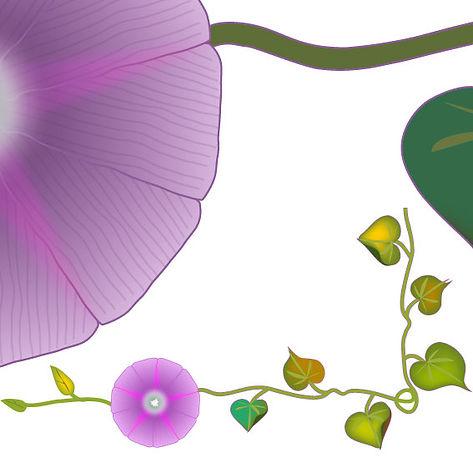 """Étude documentaire : """"fleur d'ipomé"""" techniques, dessin et couleur numérique (vectorisé) ©TIZIEN"""
