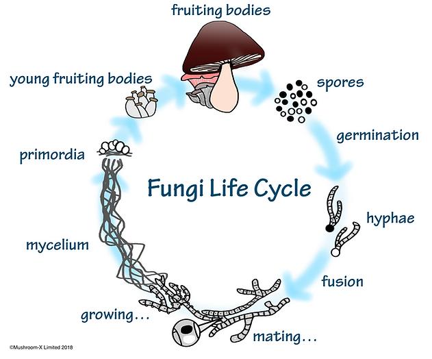 life cycle 07.png