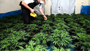 Three arrested and plants recovered during warrant