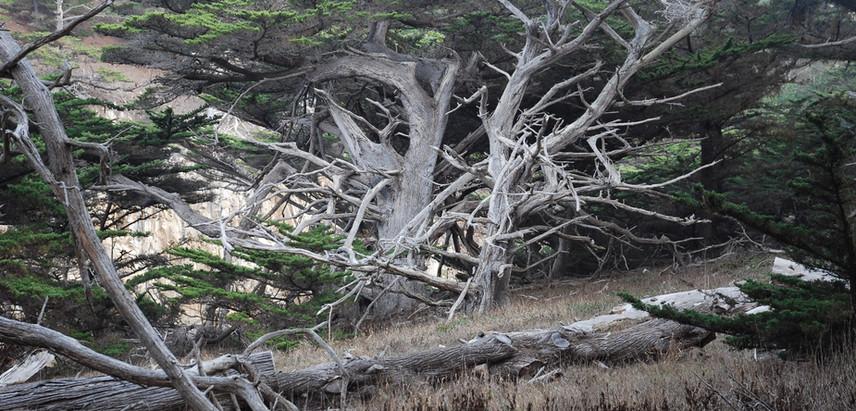 CA envirn. cypresses 002.jpg