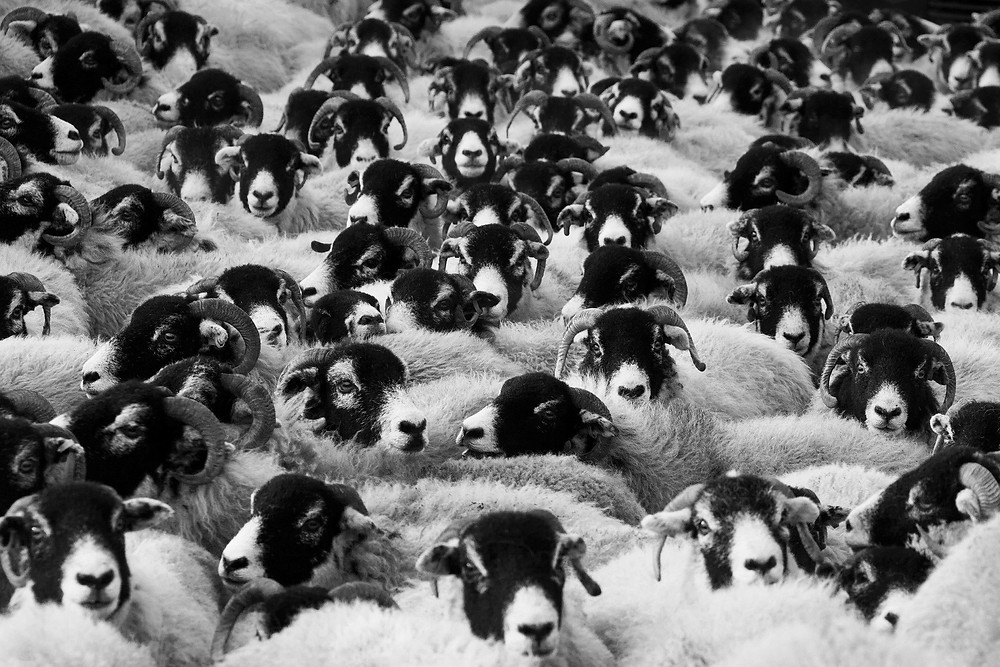 Sheep in a herd