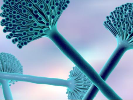 Aspergillus - kropidlak