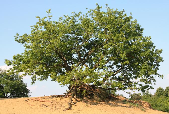 Eikenhoutstoof Oudsberg - Duinengordel