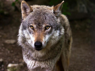 Actieplan wolf door Peer en Oudsbergen