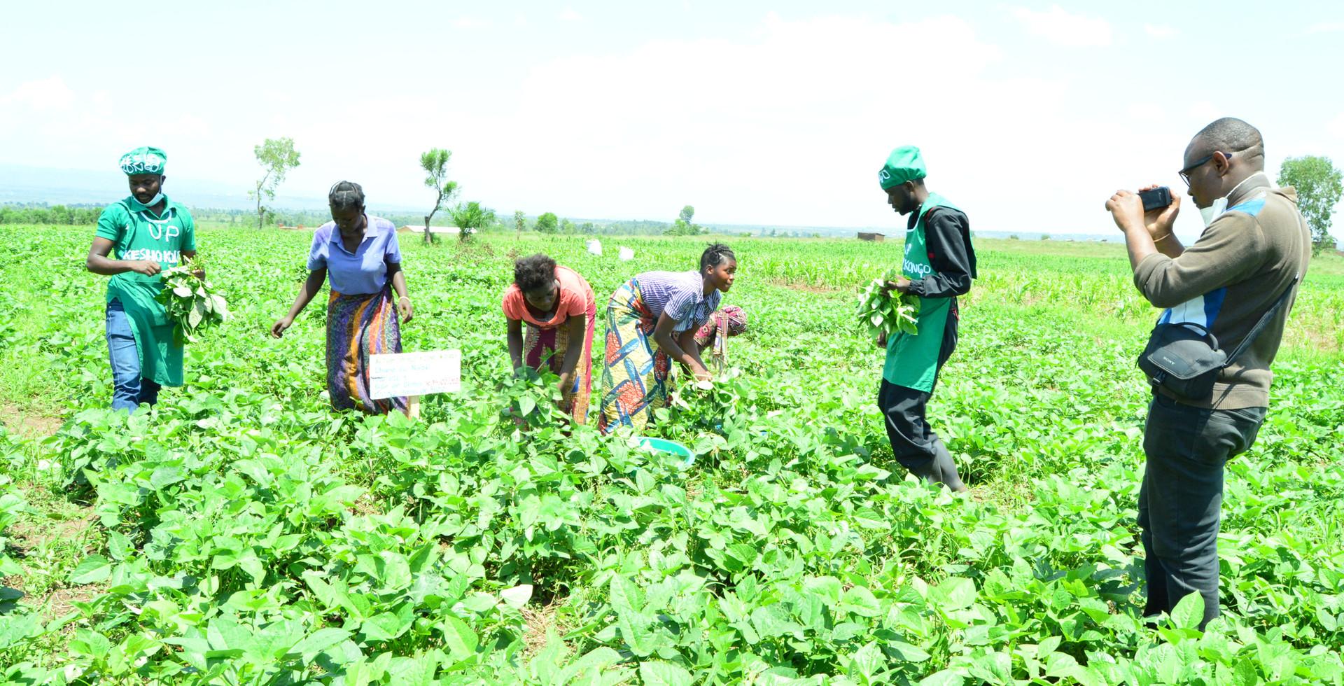 Récolte de niébé dans le champs de Kesho Congo à Luvungi (Plaine de la Ruzizi)