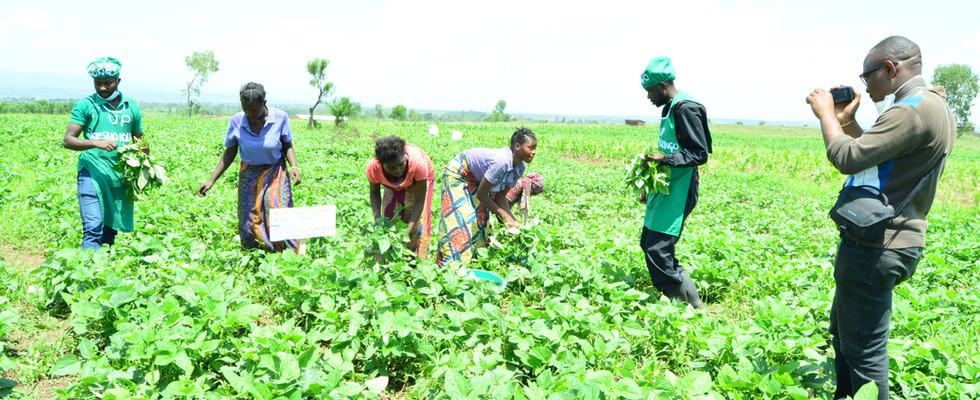 Cowpea harvest in Luvungi in the Ruzizi plain