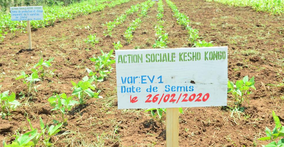 Travaux de champ de niébé à Luvungi dans la plaine de la Ruzizi.