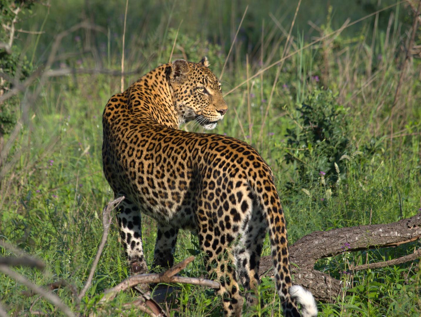 South Africa Leopard.jpg