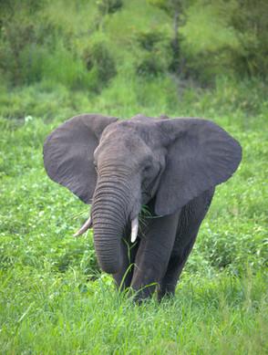 South Africa elephant.jpg