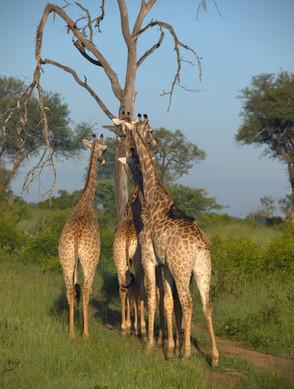 South Africa giraffes.jpg