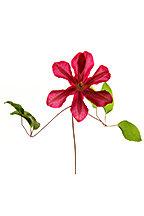Clematis (Minimalist Flower Series)