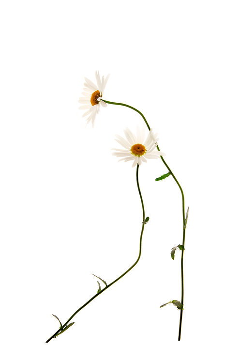 Daisy (Minimalist Flower Series)
